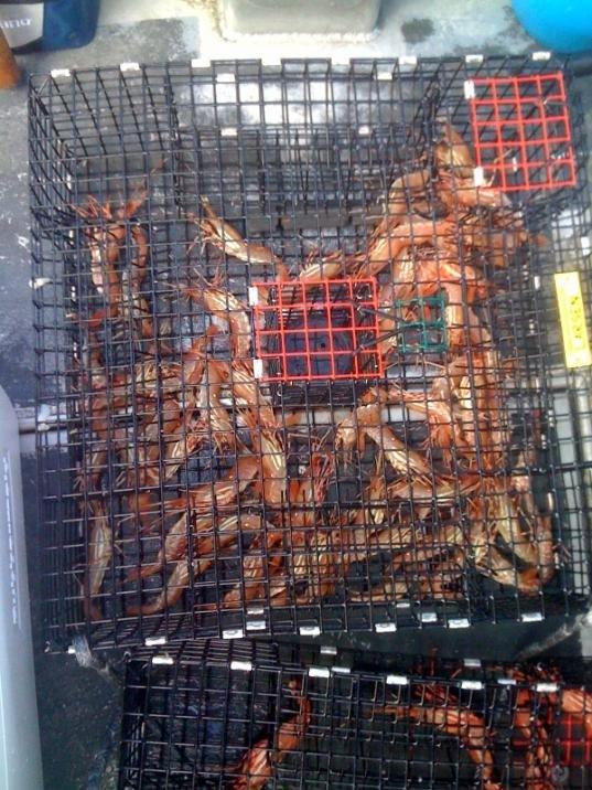 73 shrimp in pot.jpg